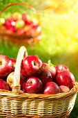 picture of orchard  - Organic Apples in a Basket outdoor - JPG
