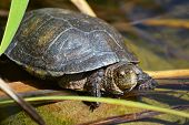 pic of turtle shell  - Cute little turtle on a rock in water - JPG