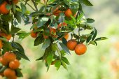 image of tangerine-tree  - fresh orange on plant or orange tree - JPG