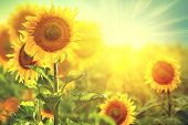 Sunflower field. Beautiful sunflowers blooming on the field. Growing yellow flowers poster