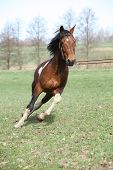 picture of pinto  - Beautiful pinto stallion running away in nature - JPG