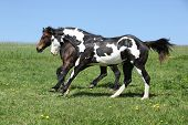 picture of paint horse  - Gorgeous black and white stallion of paint horse running on spring pasturage - JPG
