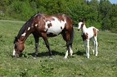 foto of mare foal  - Amazing paint horse foal with mare on pasturage - JPG