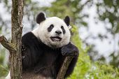 stock photo of panda  - Giant panda on the tree in Zoo - JPG