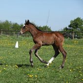 stock photo of fillies  - Beautiful brown filly on spring pasturage alone - JPG