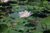 stock photo of lilly  - Pink water lilly  - JPG