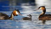 foto of crested duck  - Crested grebe ducks - JPG