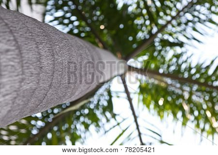 palm tree, Palm tree isolated. Cocos Nucifera ** Note: Slight blurriness, best at smaller sizes
