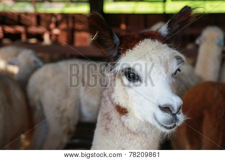 Close Up Face Of Alpaca In Farm