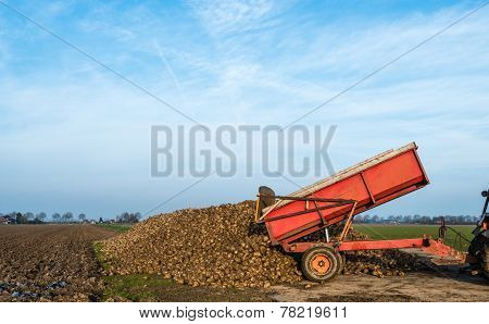 Dumping Of Sugar Beets On A Heap