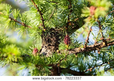 Pine Branches With Female And Male Cones