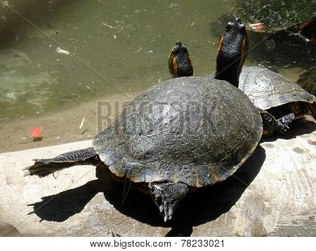 Turtle craning