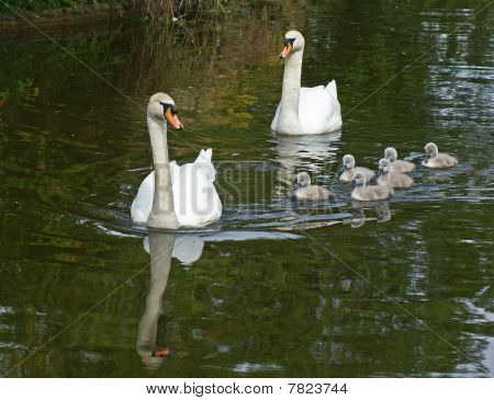 Swans & Cygnets.
