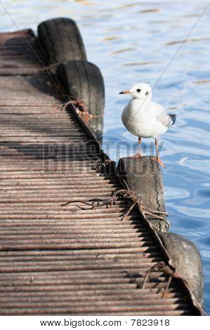 Sea Gull Sitting On Pier