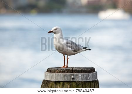 Seagull At Sydney Harbour