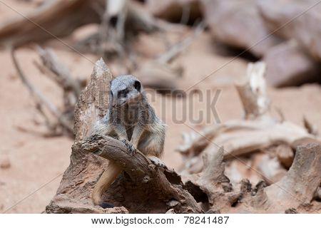 Small surikait sits on a big snag