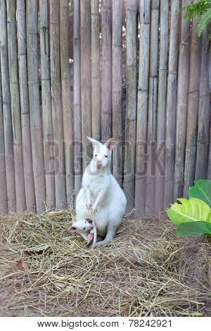Albino Wallaby With Baby