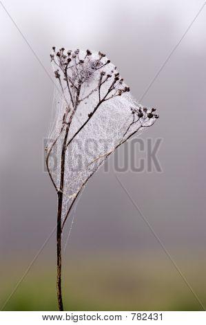 Webbed herb