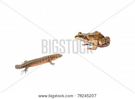 Frog And Tailless Lizard Isolated