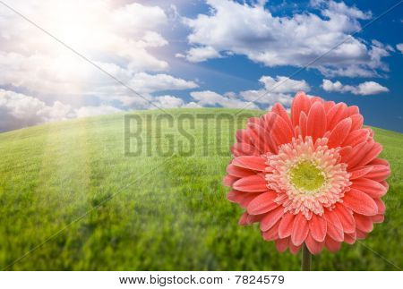Pink Gerber Daisy Over Grass Field And Sky