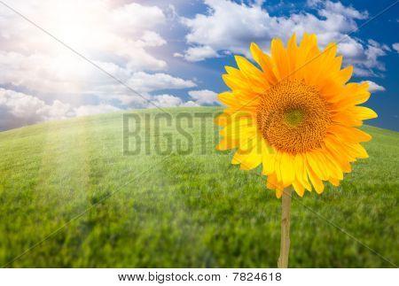 Beautiful Sunflower Over Grass Field