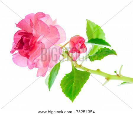 Blooming Twig Of Pink Impatiens Flowers  Is Isolated On White Background, Closeup
