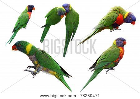 Rainbow Lorikeet Set