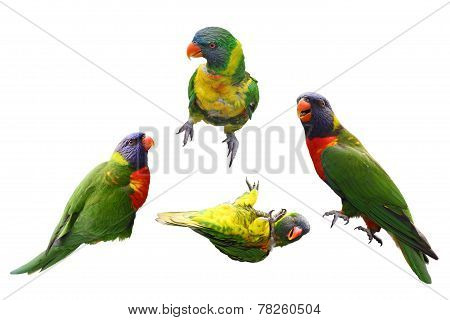 Lorikeet Birds Collage