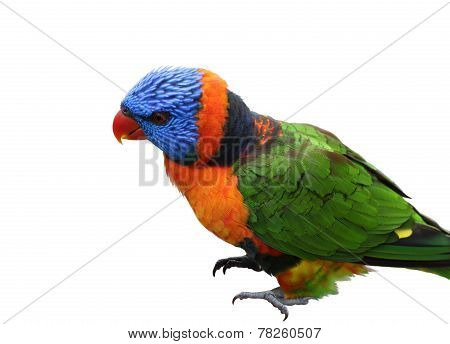 Single Lorikeet Bird