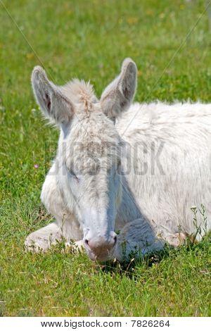 White donkey resting