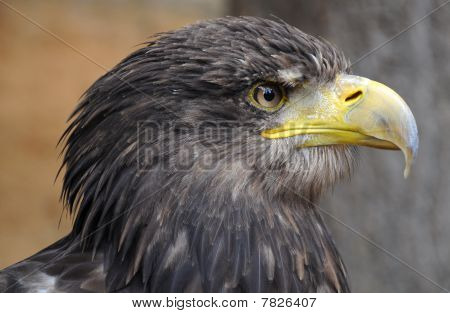 Sea Eagle (Haliaeetus albicilla)