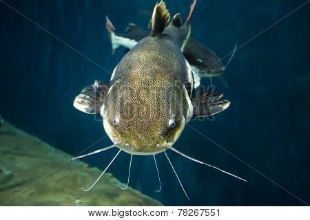 Closeup Of A Tropical Redtail Catfish