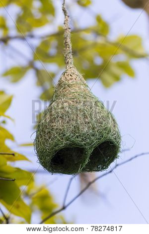 Baya Weaver Bird Nest  Branch On Tree