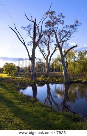 Tumut Trees