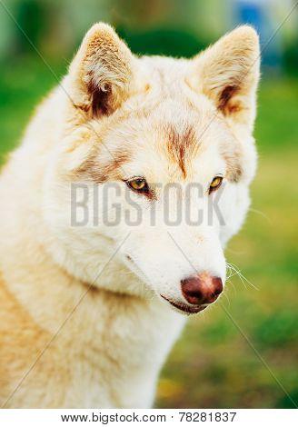 White Adult Siberian Husky Dog (sibirsky Husky)