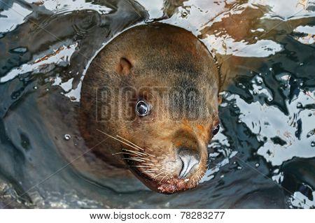 Portrait Steller Sea Lion (eumetopias Jubatus)
