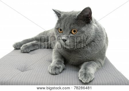 Beautiful Cat Breeds Scottish Straight (age 11,0 Months) Lying On The Pillow. White Background.