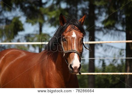 Bay Horse Portrait In Summer