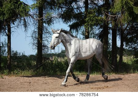 White Horse Trotting At The Field Near The Trees