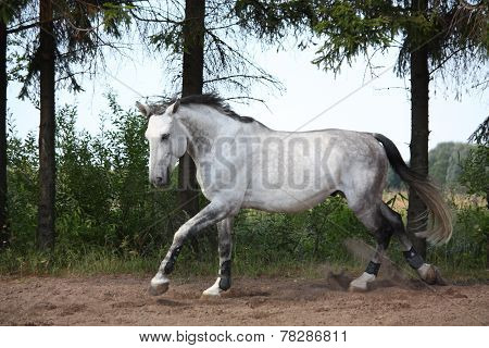 Beautiful White Horse Galloping Free At The Field