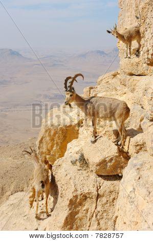 Mountain Goats In The Makhtesh Ramon