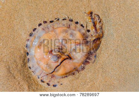 Jellyfish On A Sandy Beach