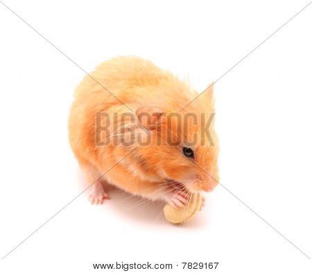 hamster like squirrel