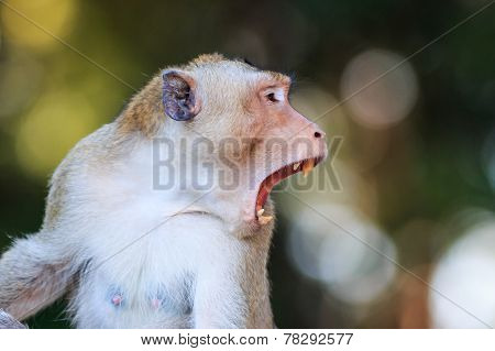 Close-up Of Monkey (crab-eating Macaque) In Thailand
