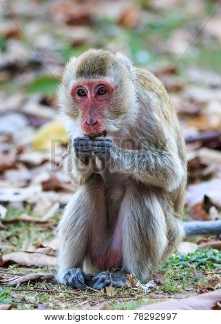 Monkey (crab-eating Macaque) Eating Food In Thailand