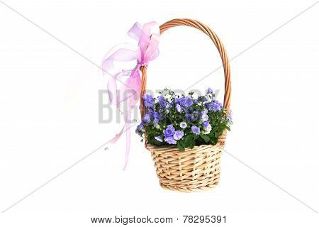 Campanula Bellflowers