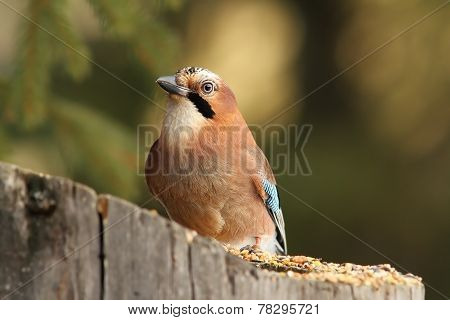 European Jay On A Feeder Stump