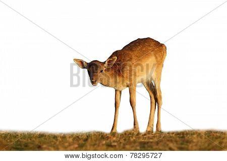 Fallow Deer Calf On White