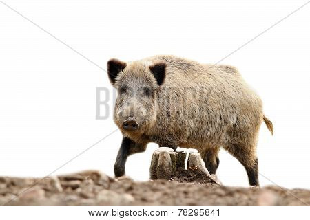 Isolated Wild Hog Looking At Camera