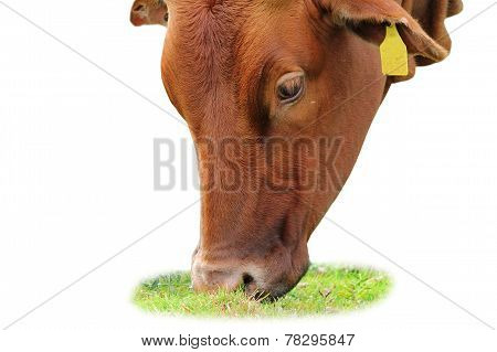 Isolated Zebu Grazing